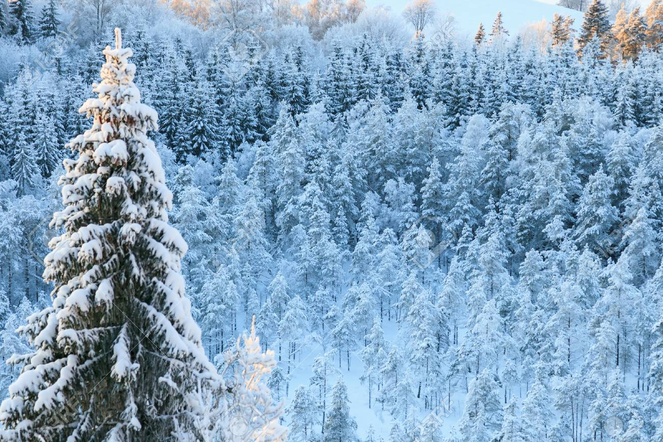 Winter taiga forest view